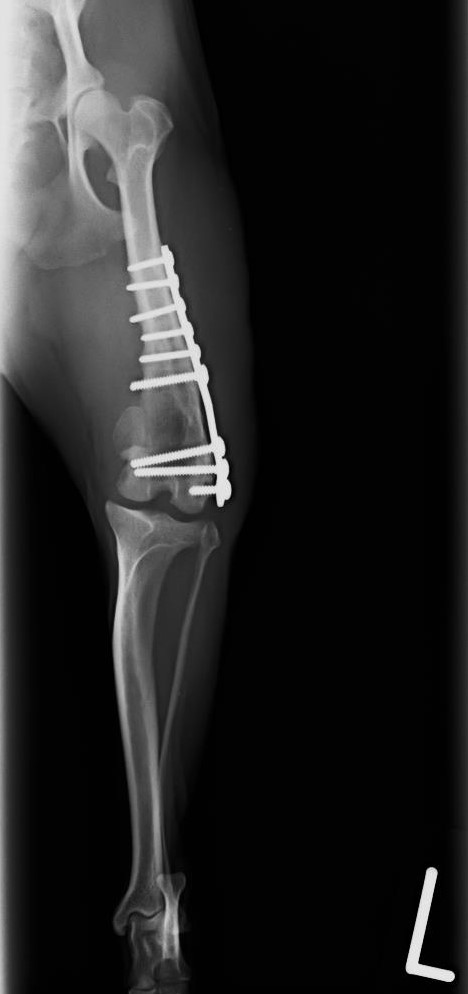 左大腿骨遠位端膝関節外横骨折 チワワ 5歳 去勢雄02